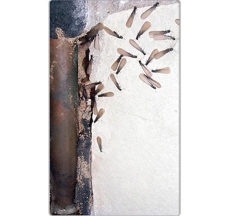 Pared con plaga de termitas