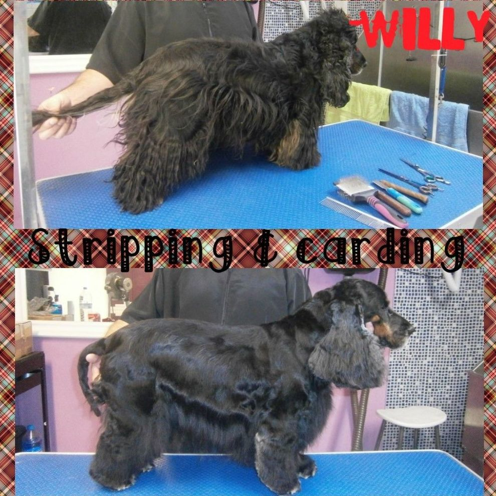 willy,cocker a stripping y carding