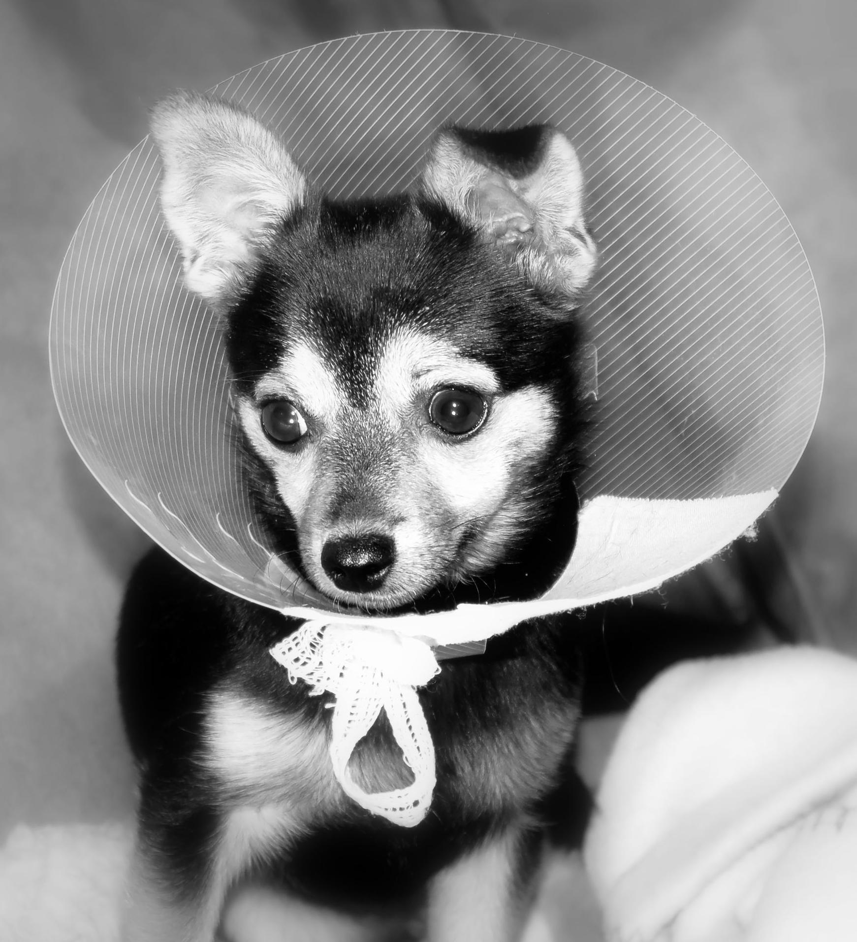 Cirugía veterinaria