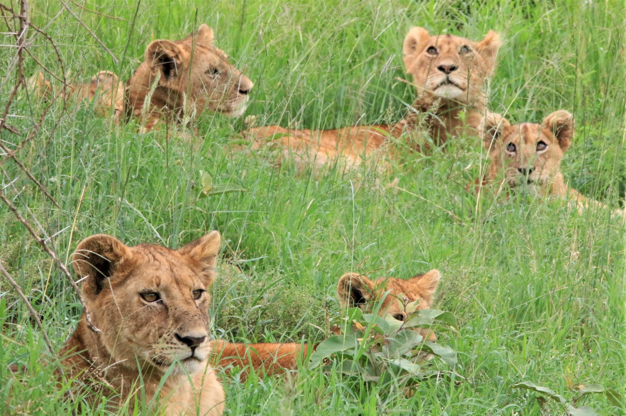 Safari. Serengeti. Lions. Tanzania. www.exploramunt.com    © David Casajuana