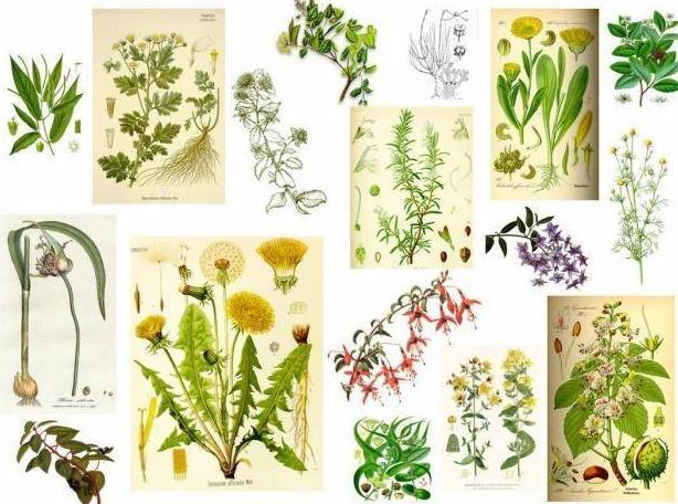 Plantas medicinales: Productos y servicios de Herbolario El Loto Dorado