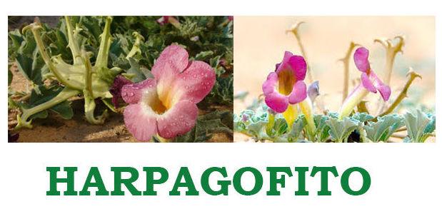 """Harpagofito """"El antiinflamatorio mas potente"""""""