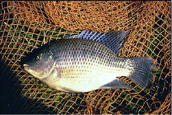 Tilapia HGT: Catálogo de Govifish
