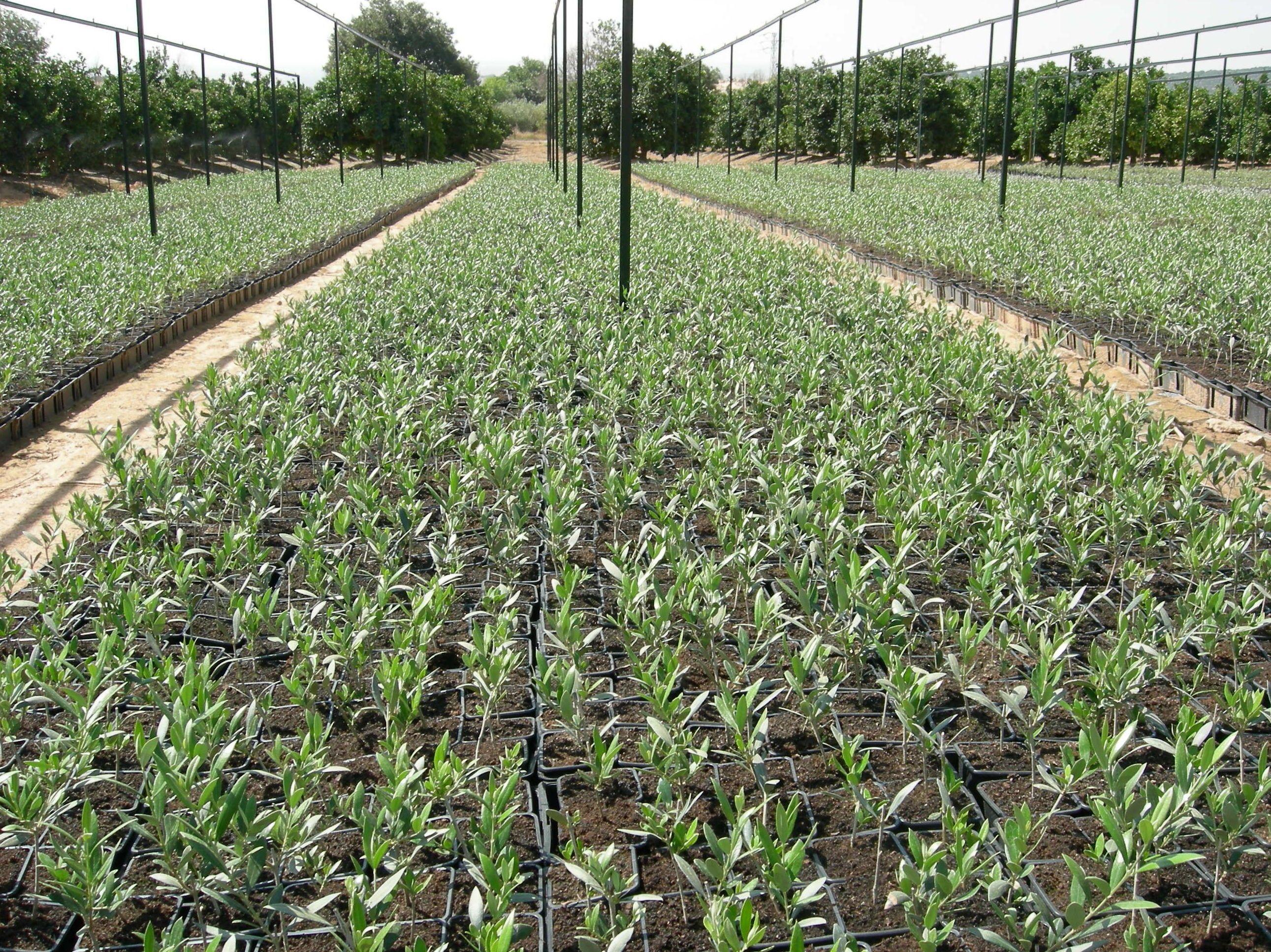 venta de olivos en c rdoba viveros san raimundo