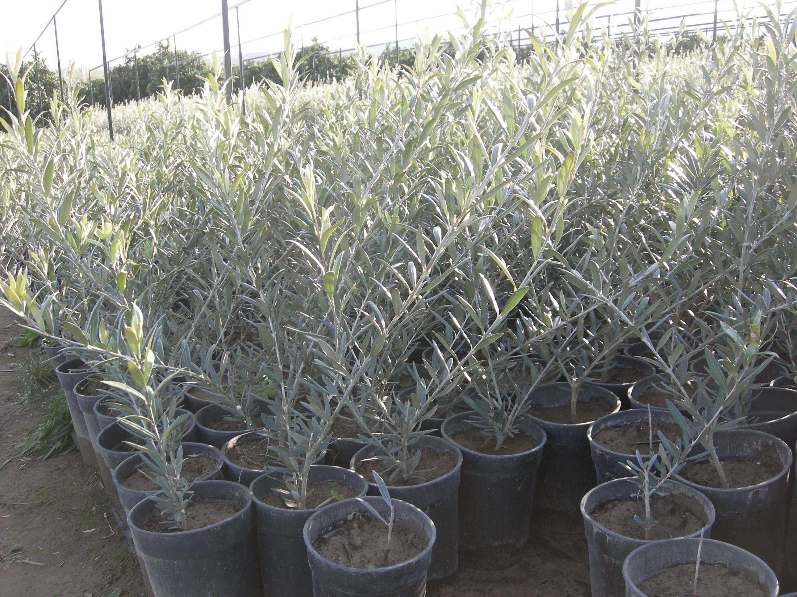 Venta de olivos de diferentes especies
