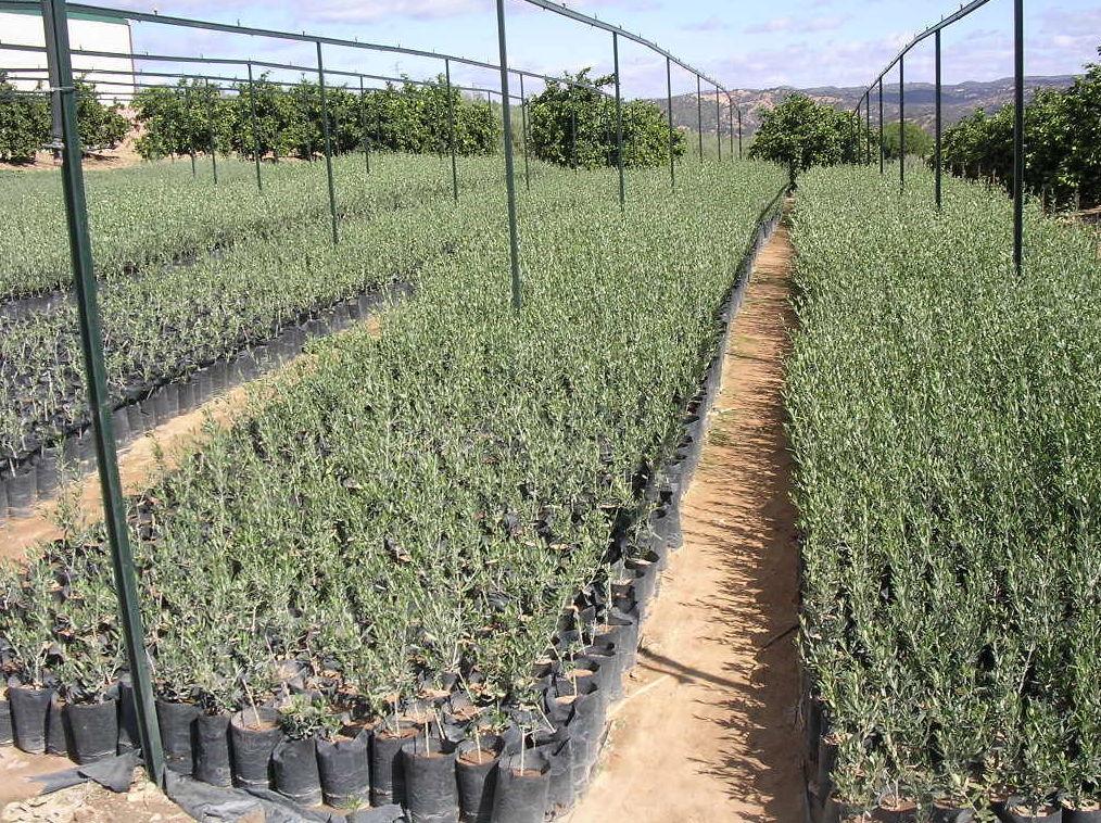 Venta de olivos y otras plantas