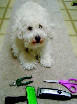 Perro para peluquería Las Palmas de Gran Canaria http://www.clinica-veterinaria-losgalgos.es/es/