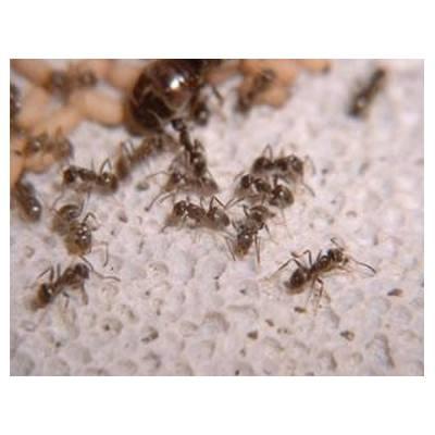 Hormiga negra: Servicios  de Desinfecciones Benidorm parte del Grupo Anticimex