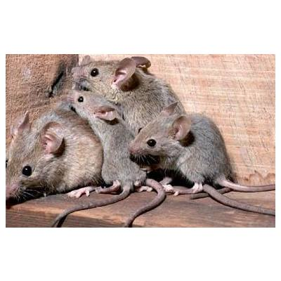 Ratón  doméstico: Servicios  de Desinfecciones Benidorm parte del Grupo Anticimex