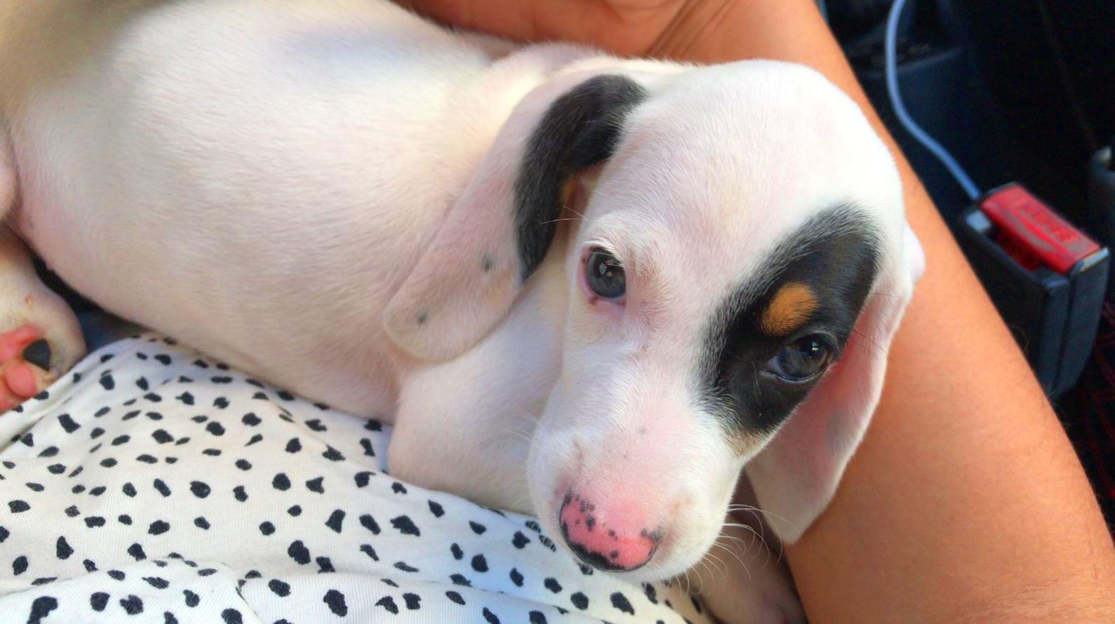 Can Exprés servicio veterinario a domicilio Zaragoza: precioso cachorro de Sabueso Astur-Cántabro de nombre Pirata.