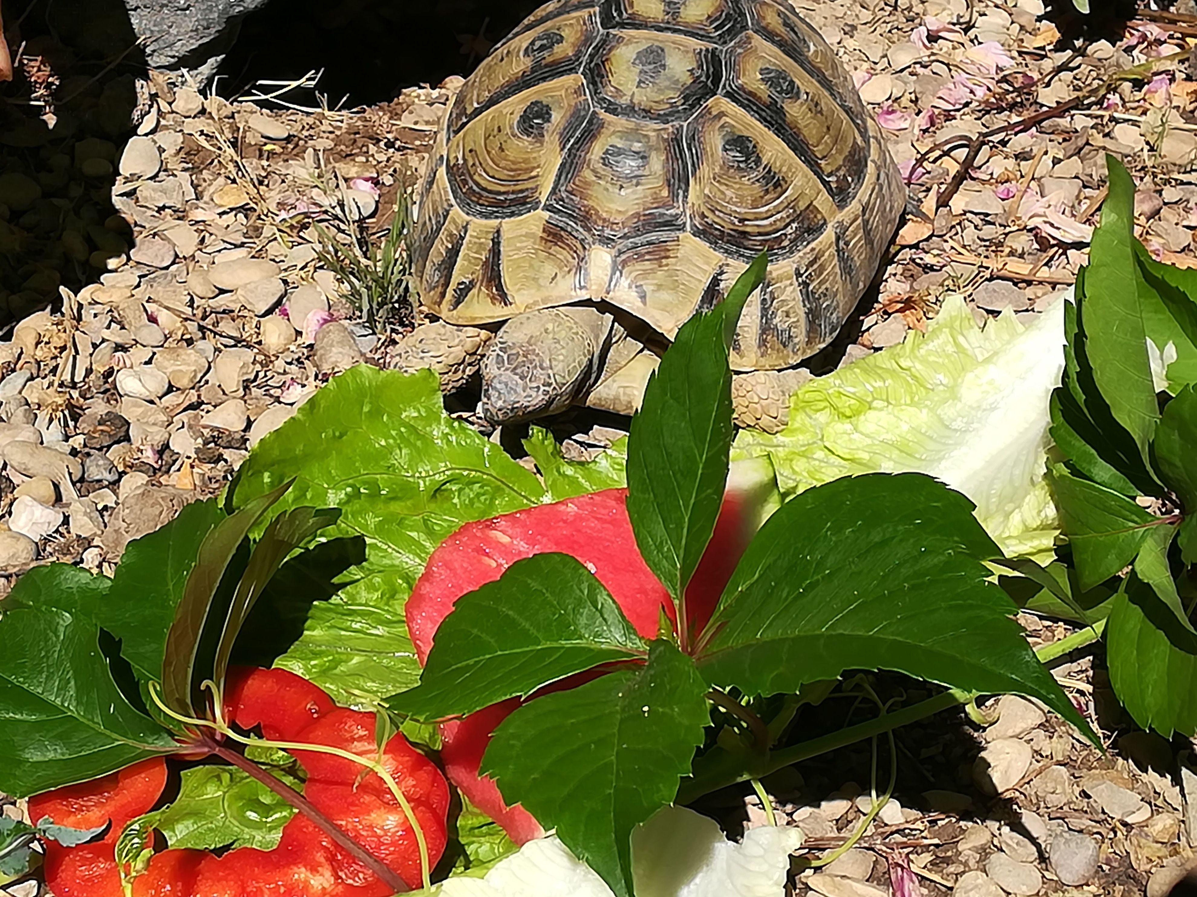 Can Exprés servicio veterinario a domicilio Zaragoza: tortuga mediterránea con suficiente sol, alimentación hoja verde muy poca fruta
