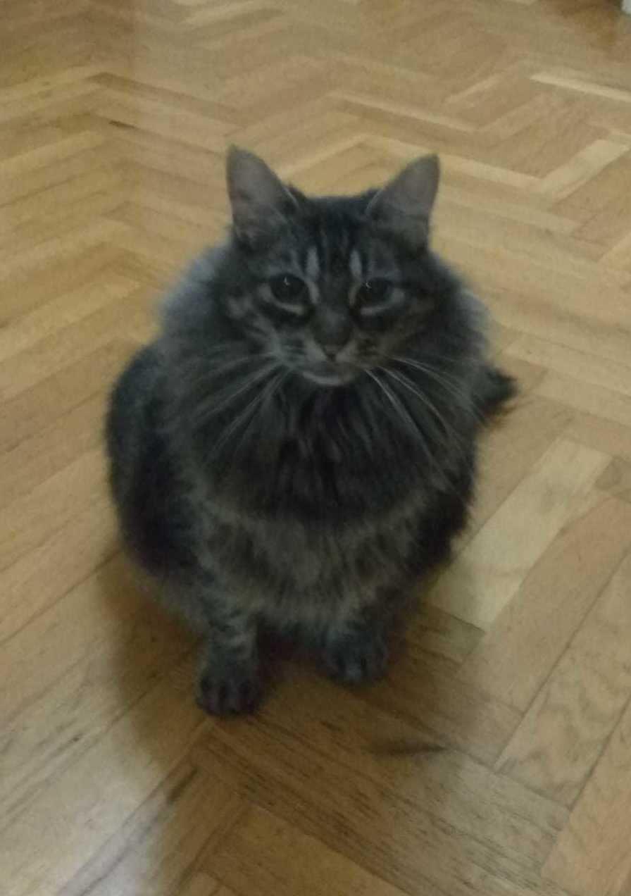 Can Exprés servicio veterinario a domicilio Zaragoza, preciosa gatita pero obesa, tratamiento reducción de las calorías ingeridas e incremento del ejercicio.