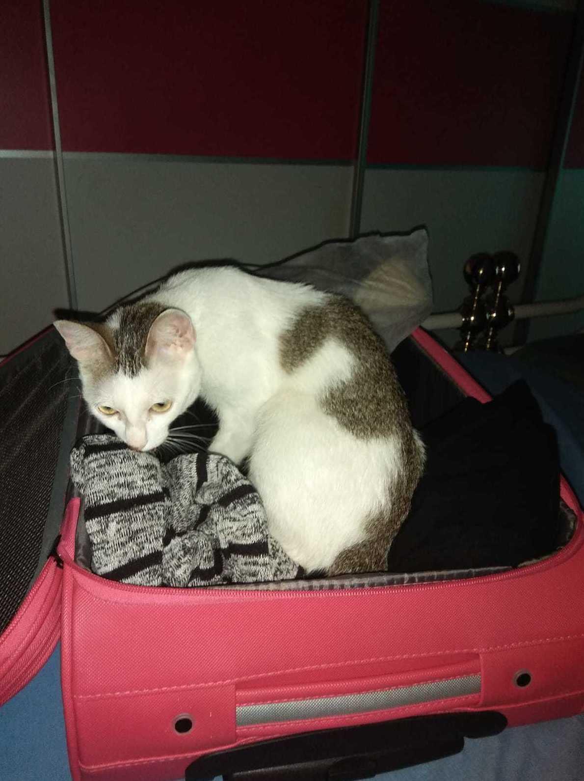 Frozen gata jugando en la maleta de su dueña que tiene forma de caja y les encanta pancreáticos puedes poner gatito vomitador utilizando comedero de glotones
