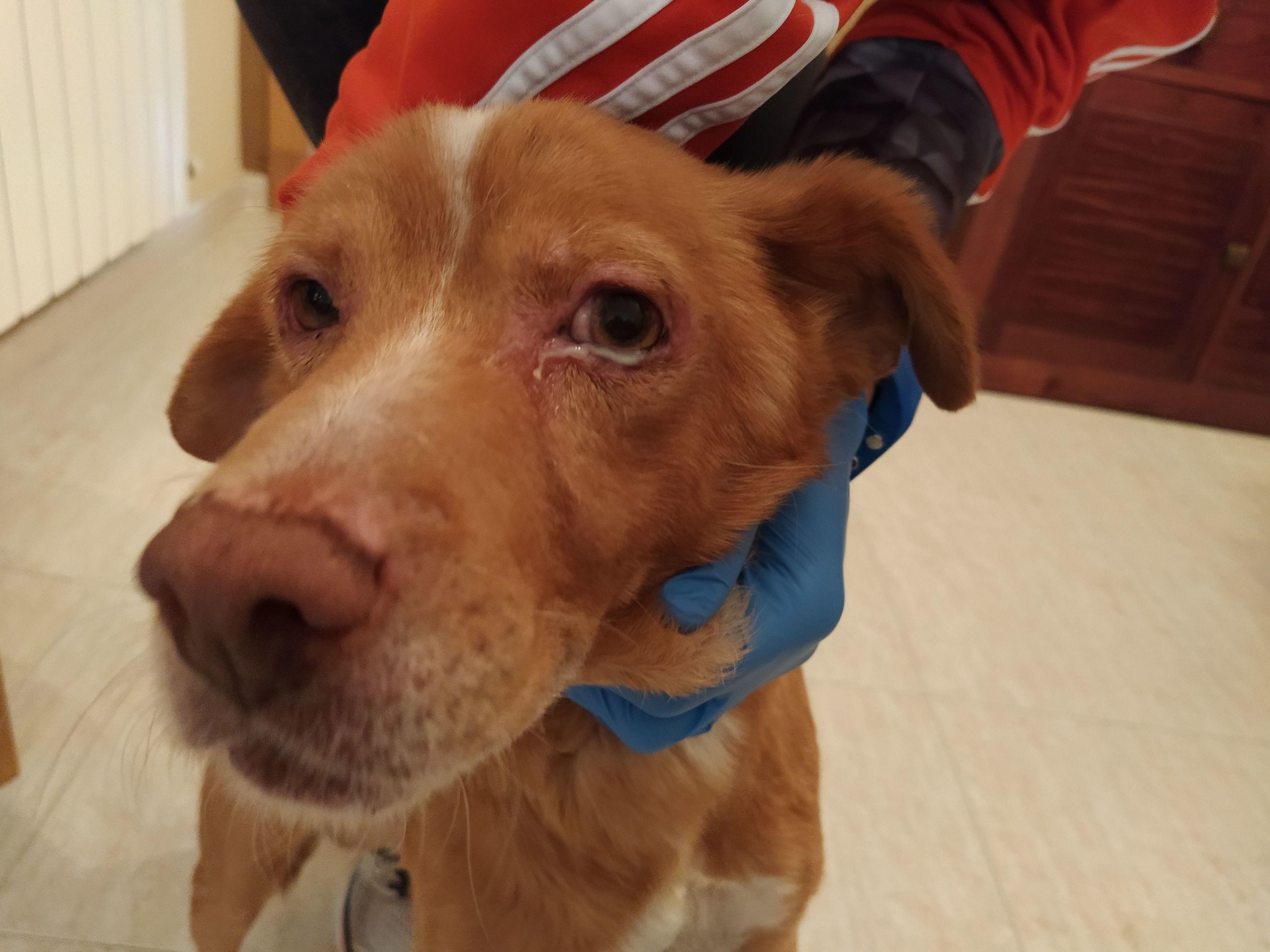 Can Exprés servicio veterinario a domicilio Zaragoza. Pipo presenta Queratoconjuntivitis seca por leishmania. Tratamiento tópico.