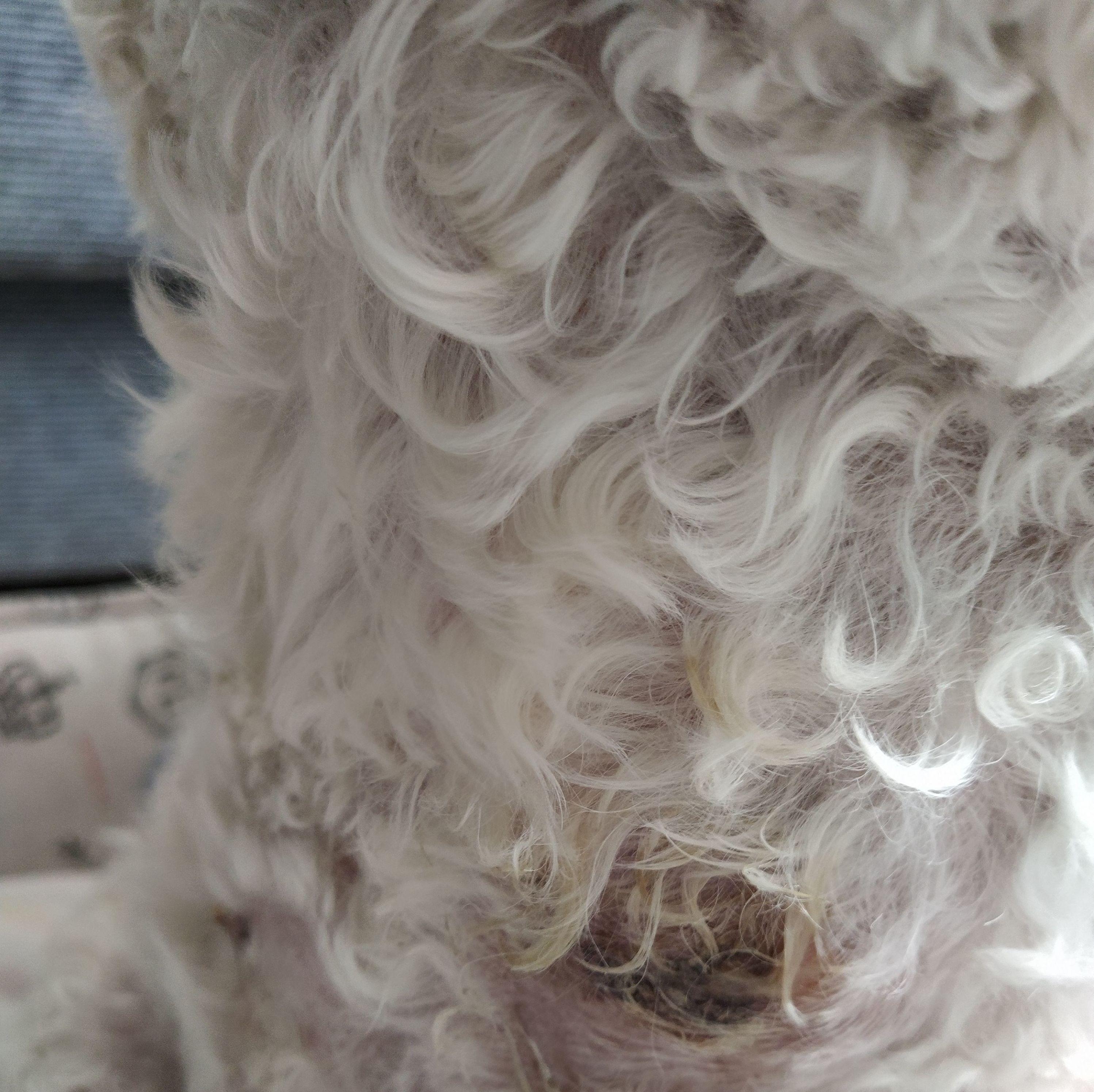 Can Exprés servicio veterinario a domicilio Zaragoza. Posible tumor de mama: está inflamada y ulcerada. Tratamiento médico, resolución quirúrgica.