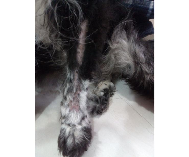Sarna canina en perrita adulta inmunodeprimida. Can Exprés Zaragoza, Servicio veterinario a domicilio.