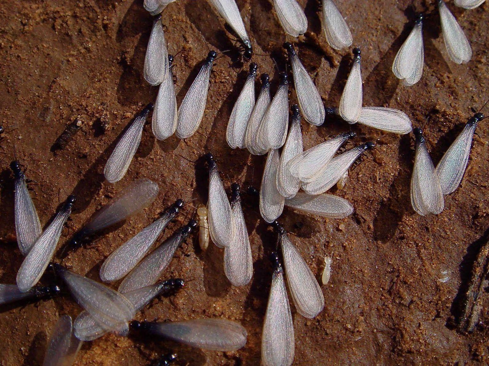 Enjambrón termita