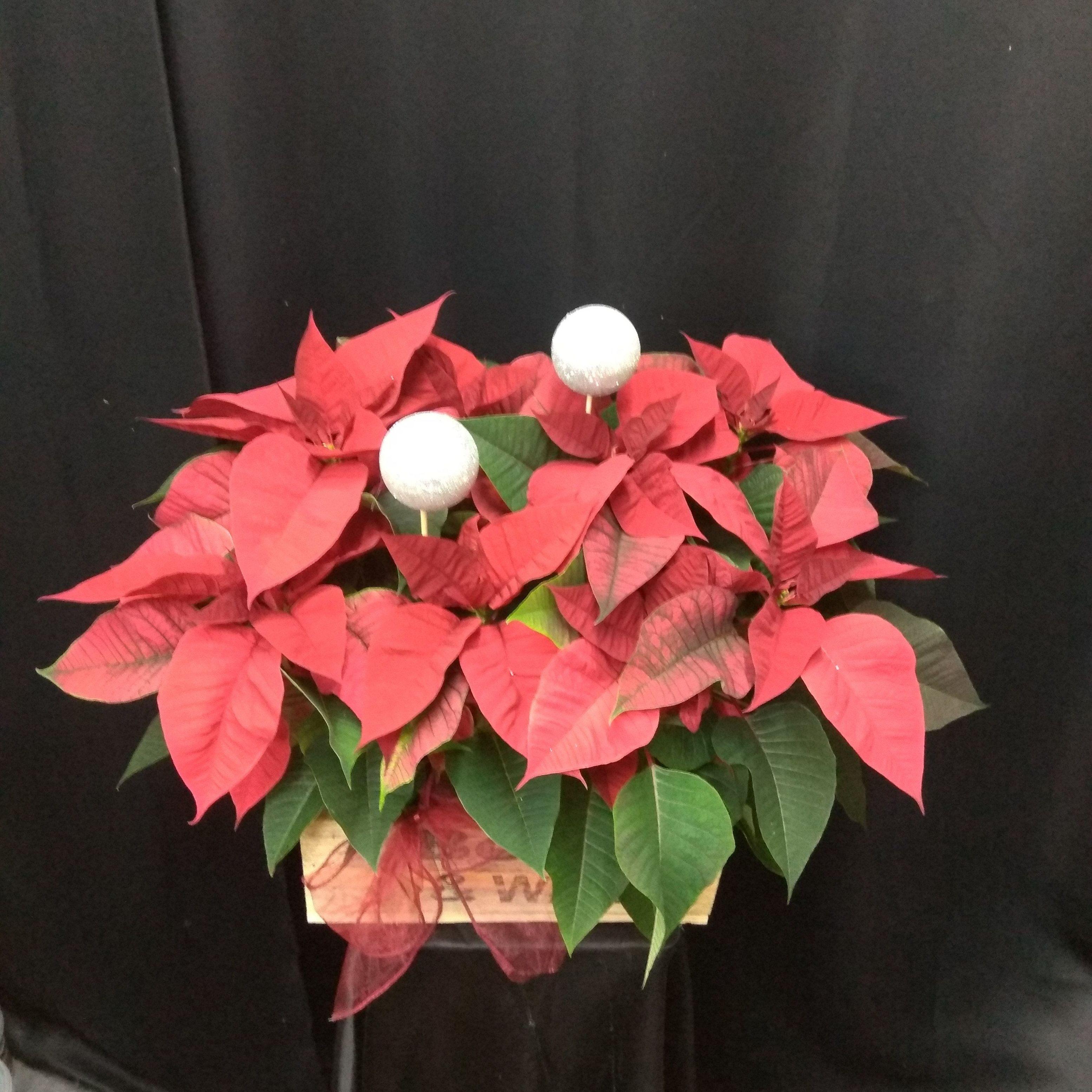 Flor de Pascua para decorar tu Navidad.
