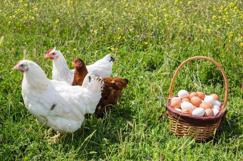 Venta de pollos al por mayor Granada
