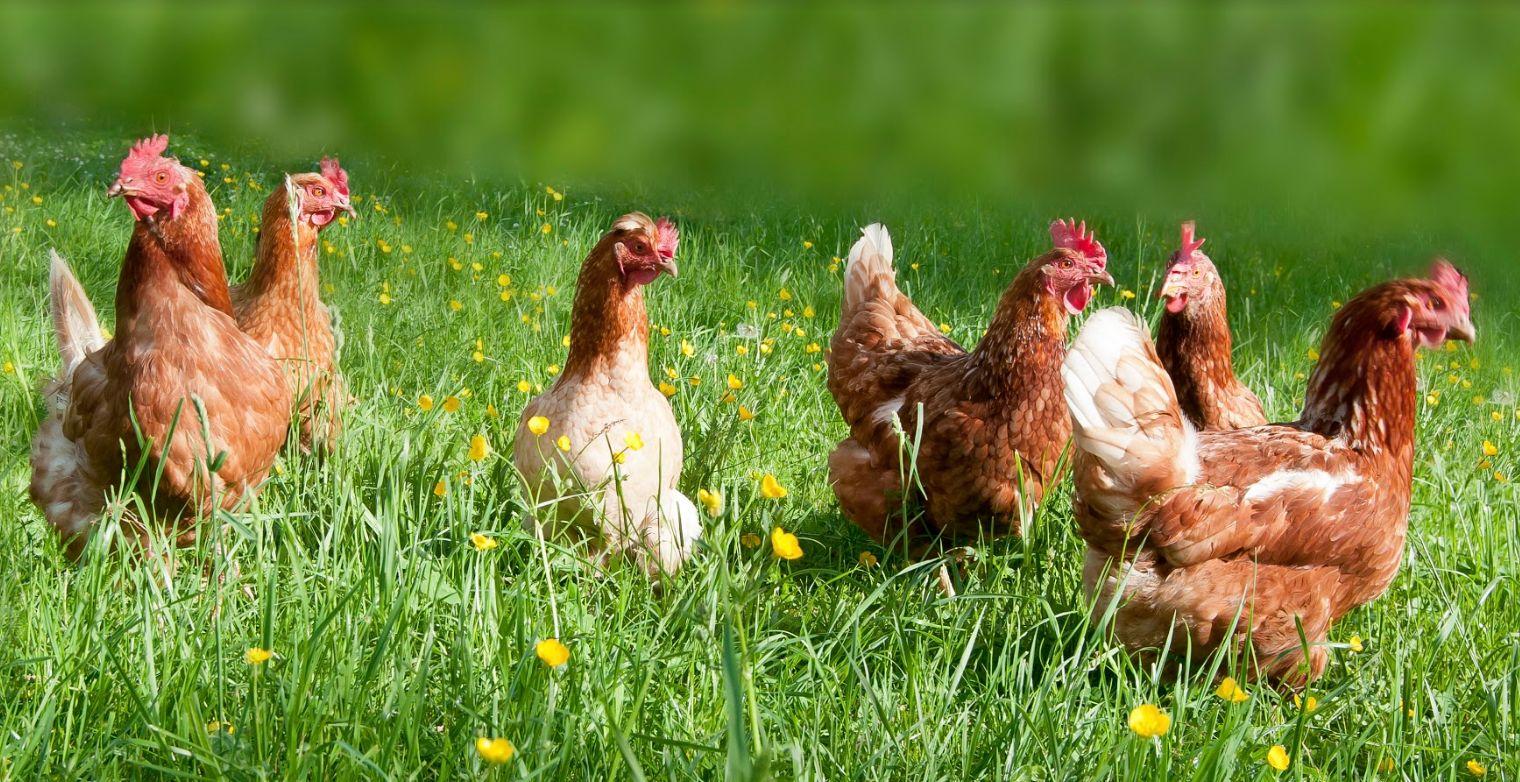 Venta de pollos al por mayor Málaga