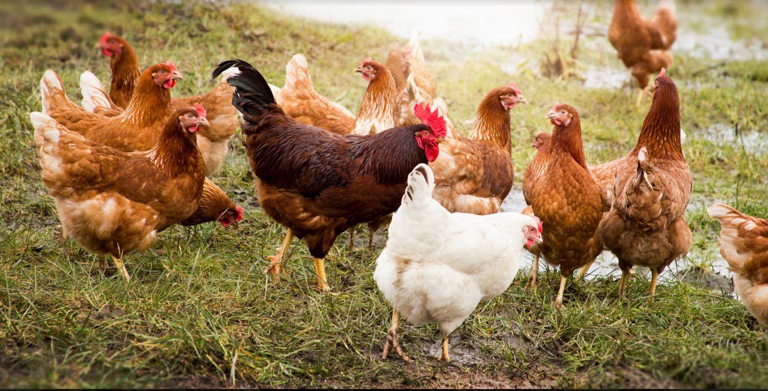 Venta de pollos al por mayor Almería