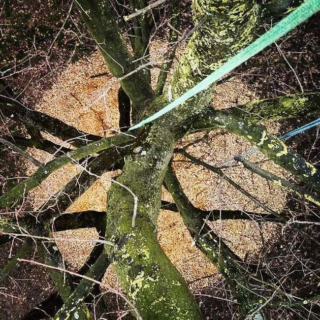 Mulching (acolchado) aporte de triturado de restos de poda con el fin de mejorar la estructura del suelo y fomentar el  desarrollo radicular.
