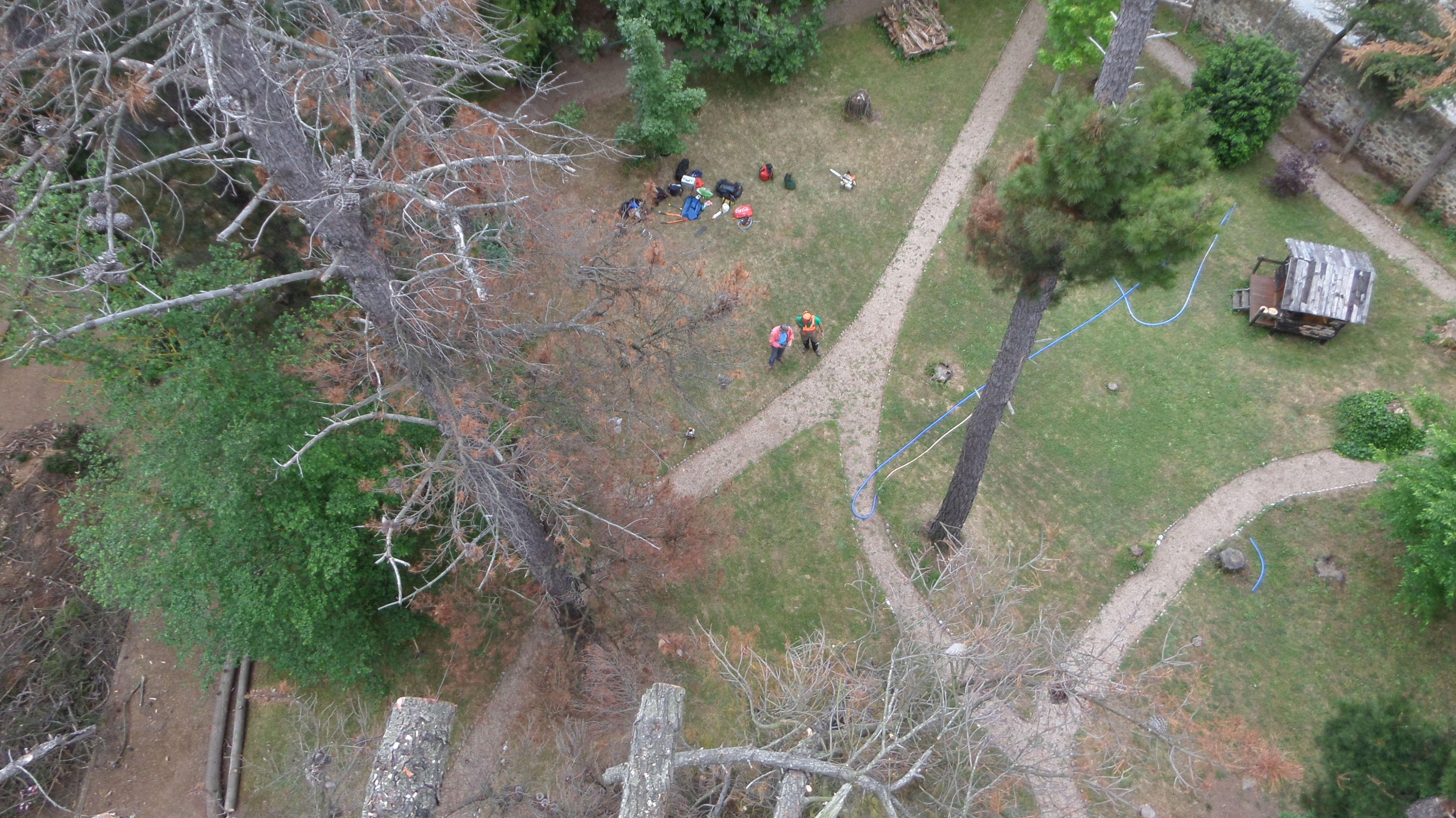 Tala mediante tecnica de trepa de pinos secos de gran porte en Cantabria.