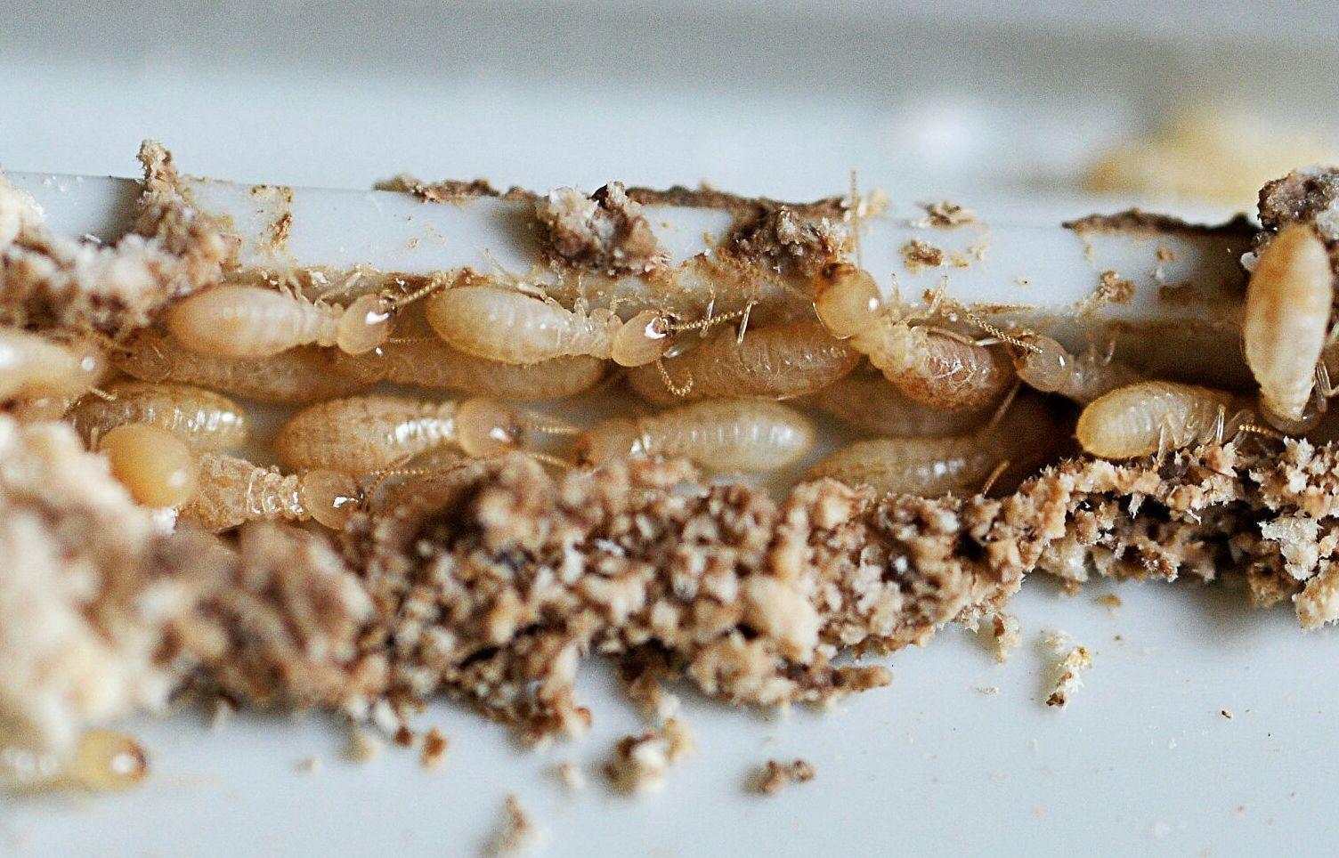 Expertos en eliminación de termitas en Castellón
