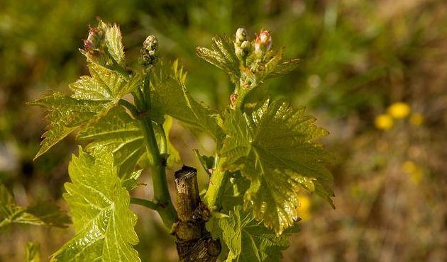 Injertos de uva: Nuestros productos de Viveros Rafael Gandía