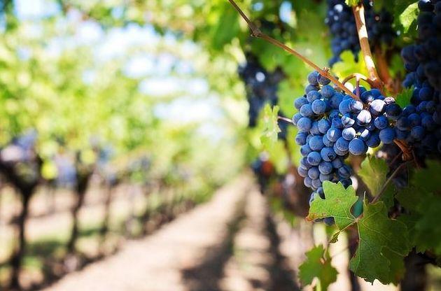 Variedad de uva: Nuestros productos de Viveros Rafael Gandía