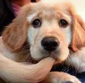 El dolor puede acentuar la agresividad en el perro