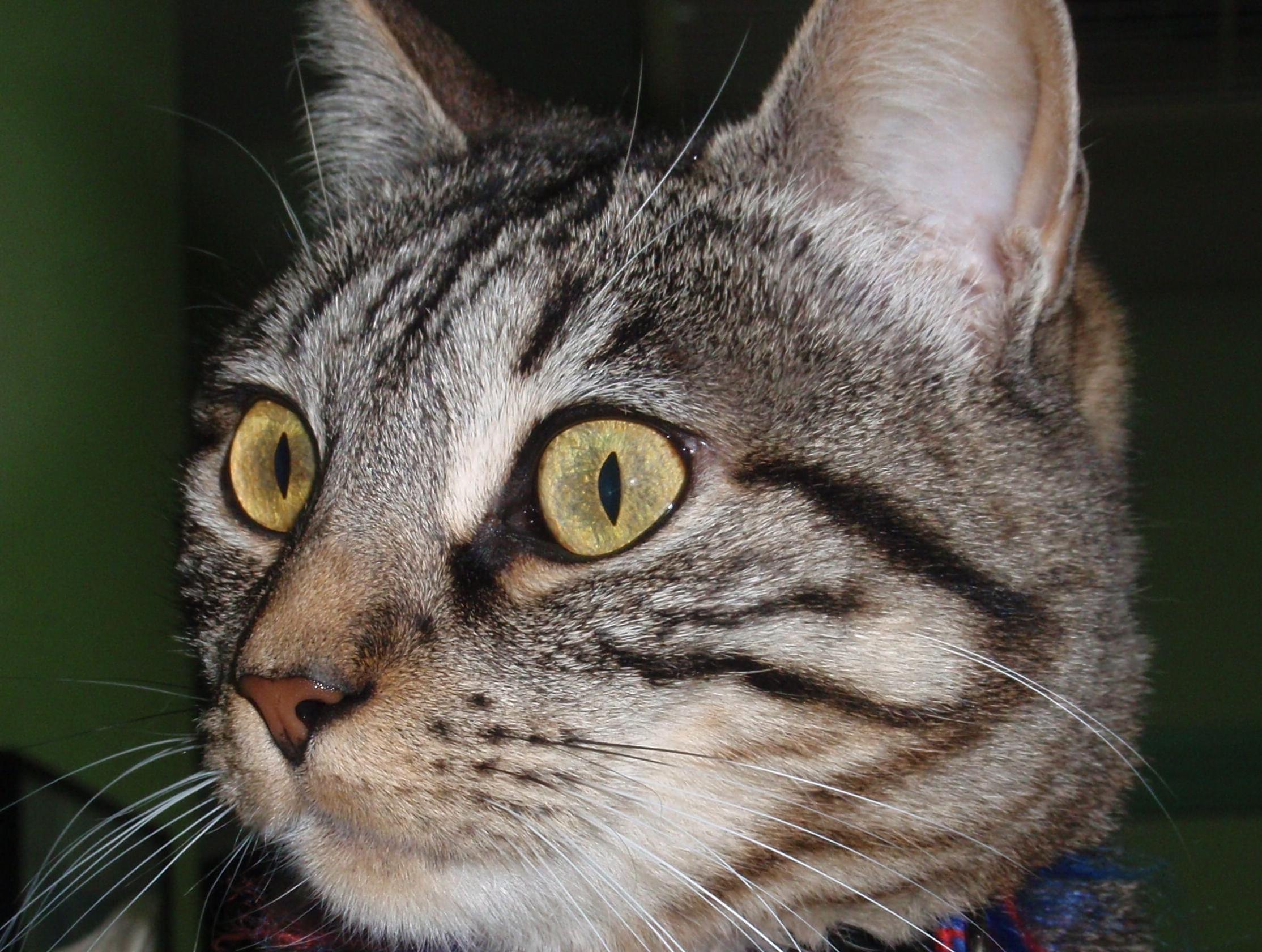 Atención veterinaria para tu gato en Madrid, Hortaleza - Canillas