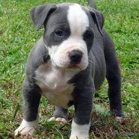 """Legislación: tenencia de perros """"potencialmente peligrosos"""""""