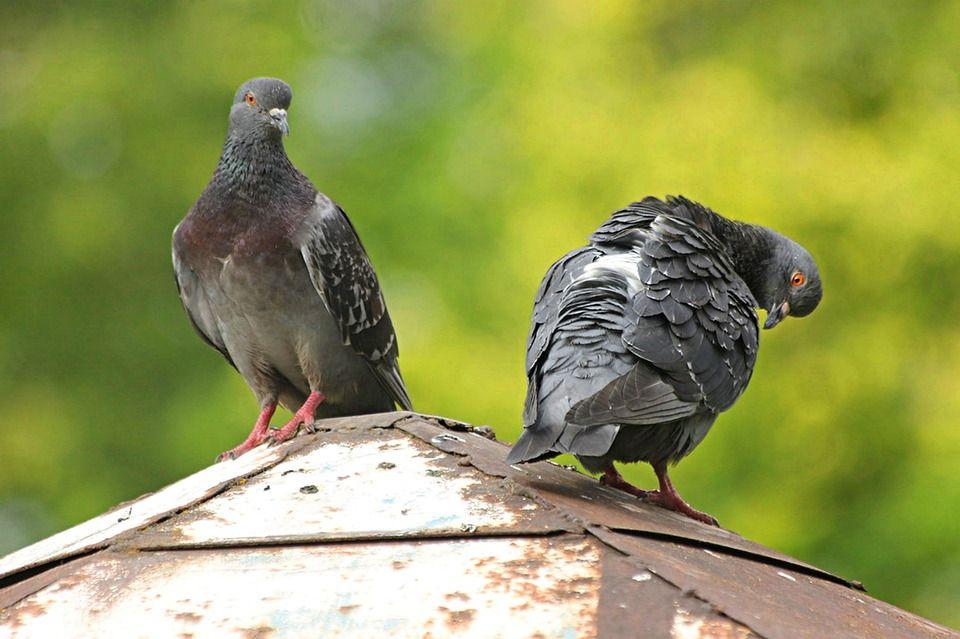 Control de aves: Control de plagas de Sanimur Sanidad Murciana