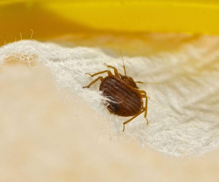 Eliminación de plagas de chinches de la cama en Murcia