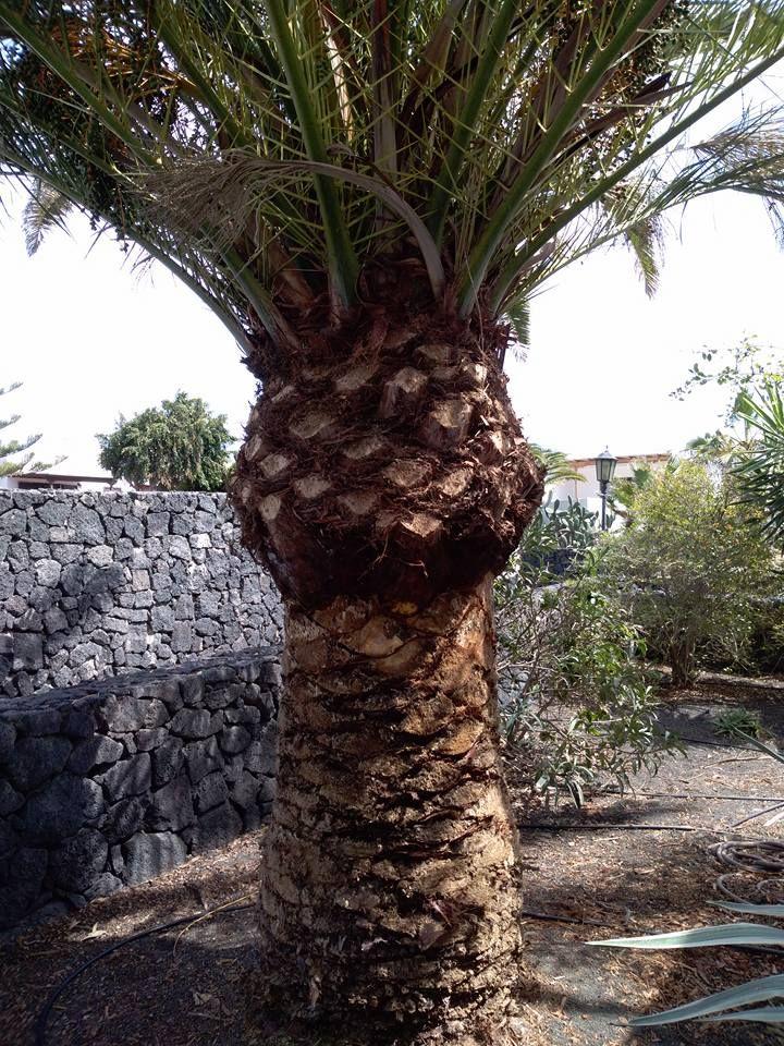 Palmeras en Las Palmas