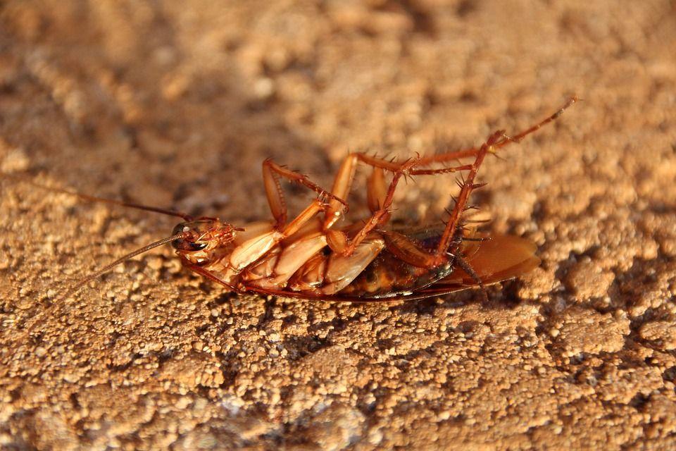 Cucarachas: Servicios de Control de plagas Equiluz