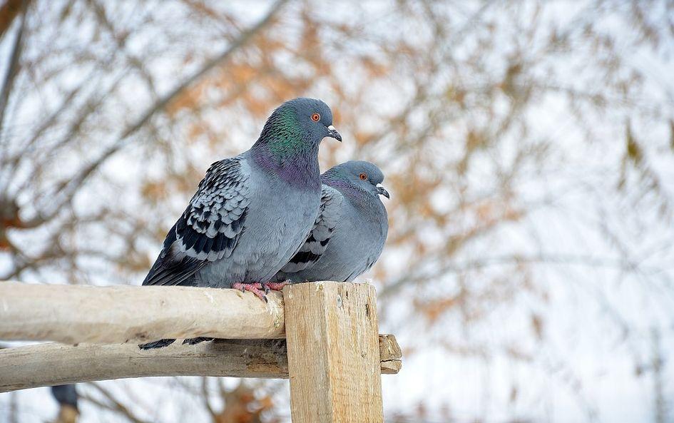 Control de plagas de palomas en Málaga