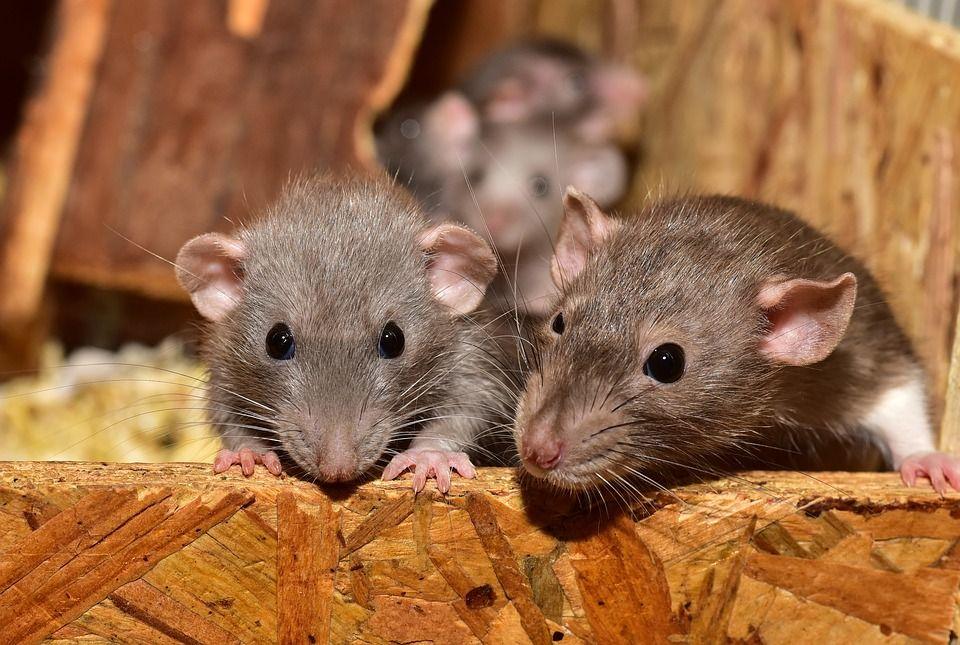 Control de roedores: Servicios de Biofauna