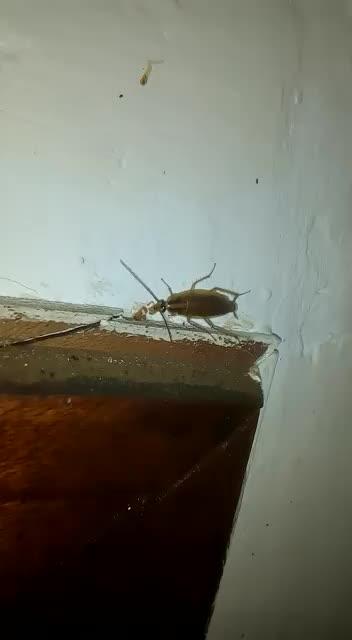 Ejemplar adulto de Blattela germanica comiendo gel insecticida.Domicilio particular. }}