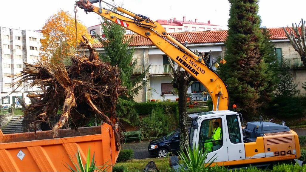 cargando una raiz de pino
