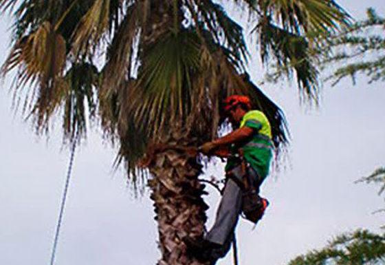 Trabajos de poda  Mairena del Aljarafe