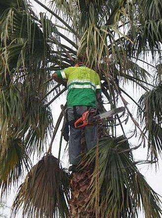 Poda y tratamiento contra el picado de la palmera  Mairena del Aljarafe