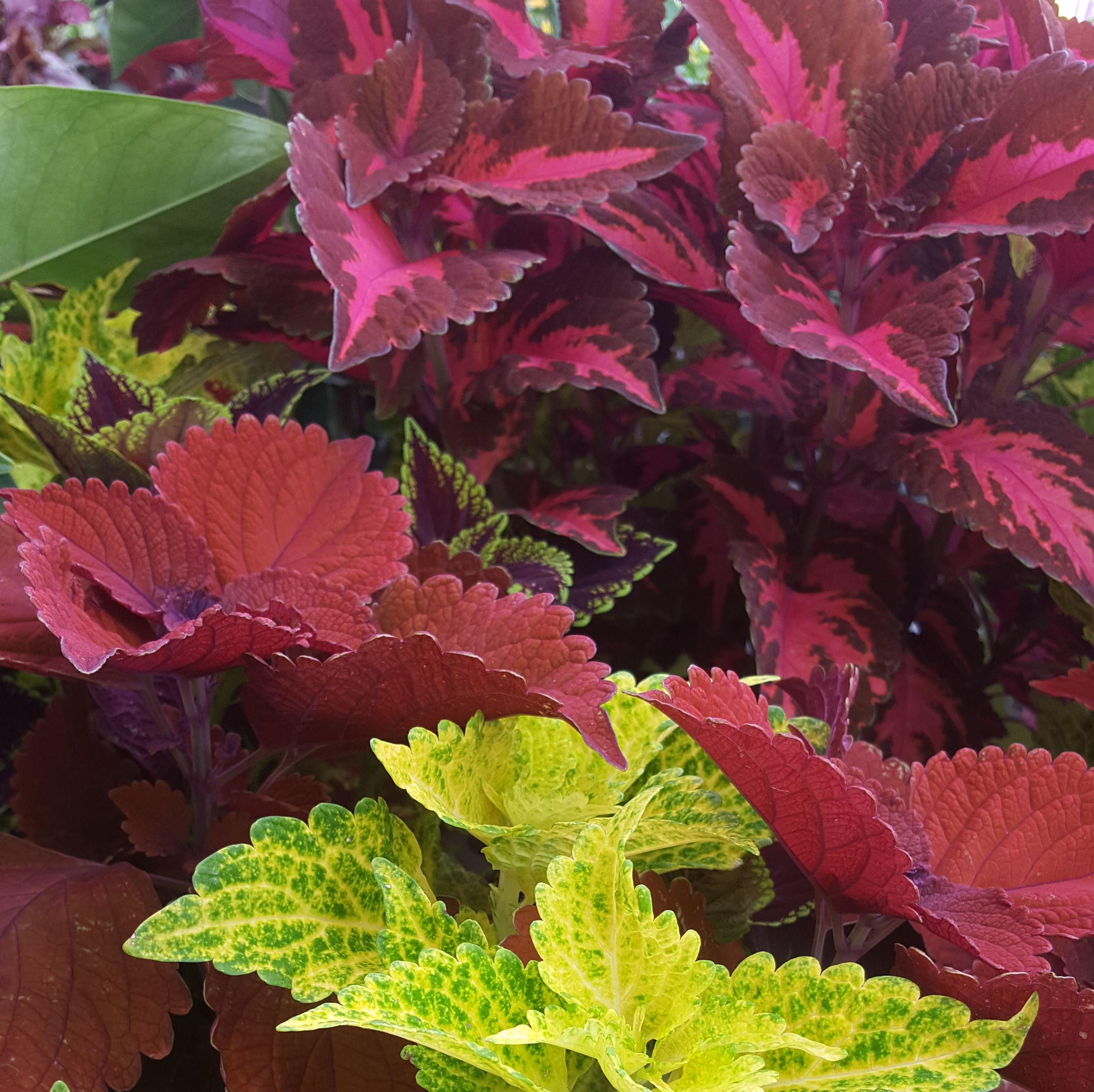 Coleos híbridos ...una planta espectacular