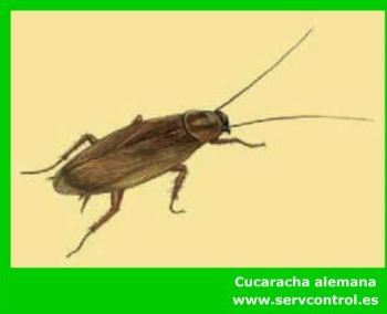 Fumigación y control de Cucarachas: Servicios de Servcontrol