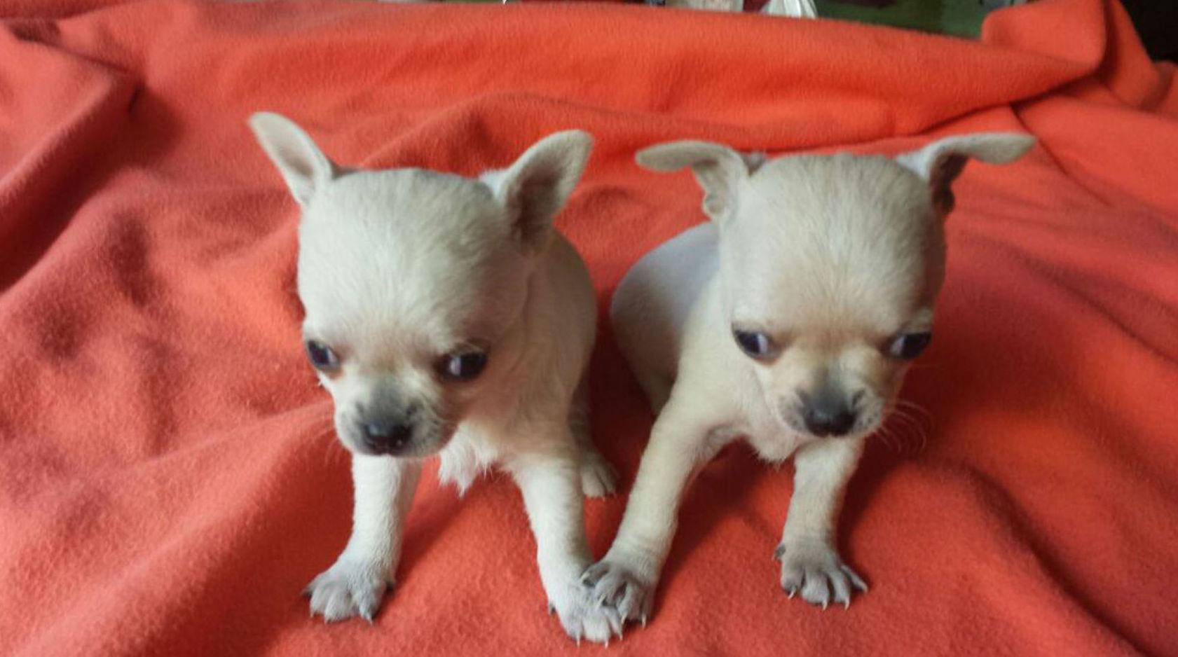 Criadores Chihuahuas tenerife/cachorros chihuahua tenerife/venta de chihuahuas en tenerife