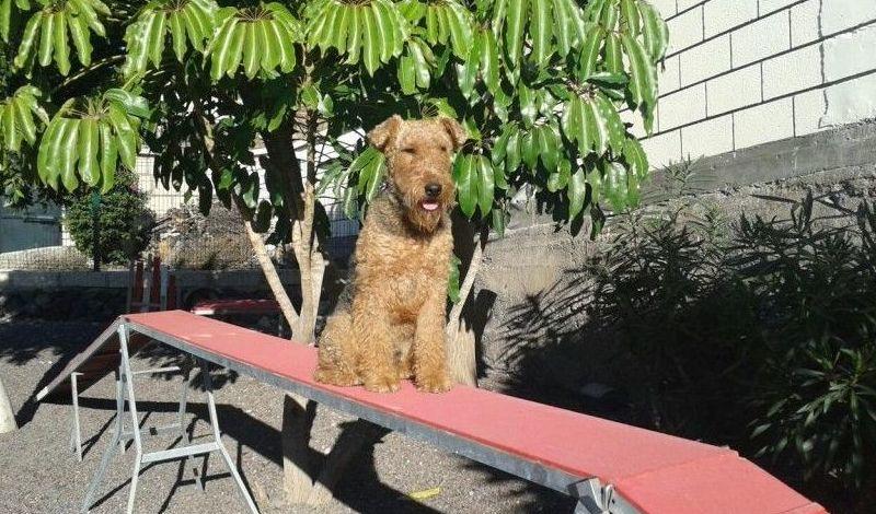 Adiestramiento canino tenerife/Adiestramiento canino san miguel de abona