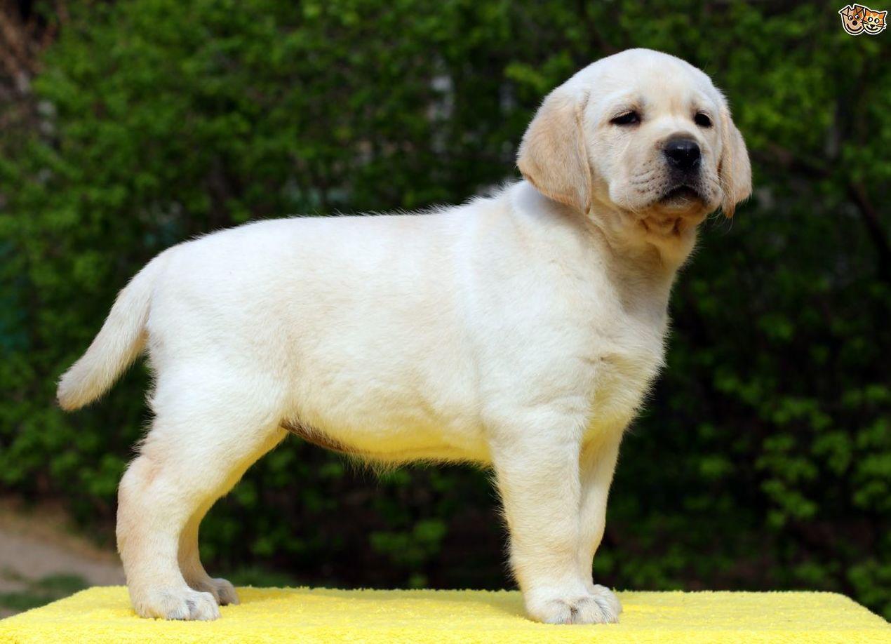 Camadas Labrador