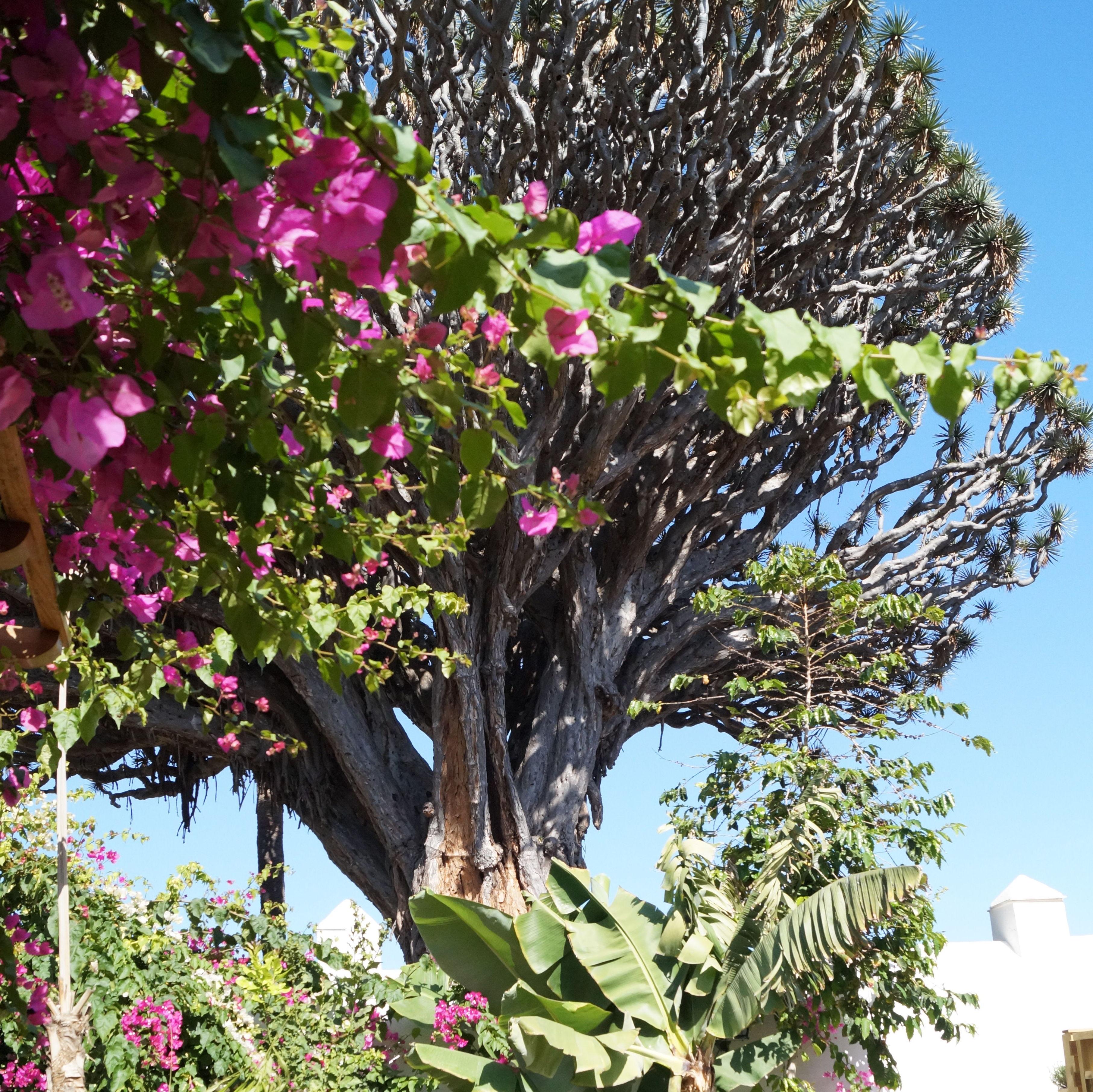 """Rincones mágicos bajo El  """"Padre Árbol de los Guanches"""" Símbolo Verde de Tenerife"""