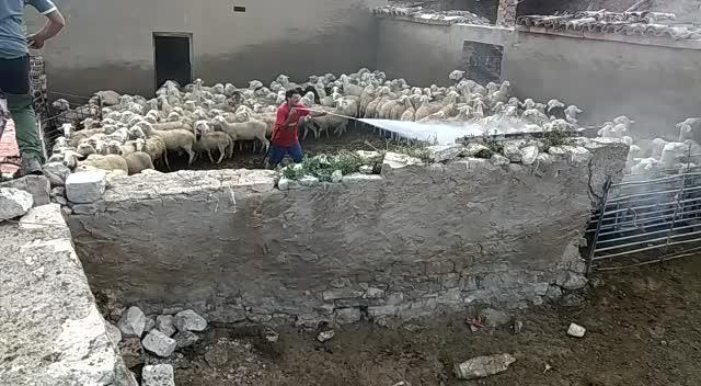 Limpieza y desinfección de explotaciones ovinas }}